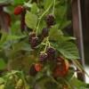 از بین بردن بوته های میوه