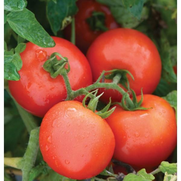 بذر گوجه فرنگی مبارز PHR F1
