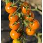 بذر گوجه فرنگی خورشید طلایی F1