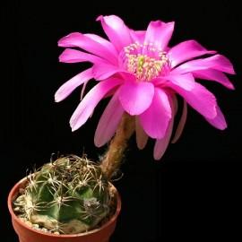 بذر کاکتوس Echinopsis Obrepanda V Calorubra