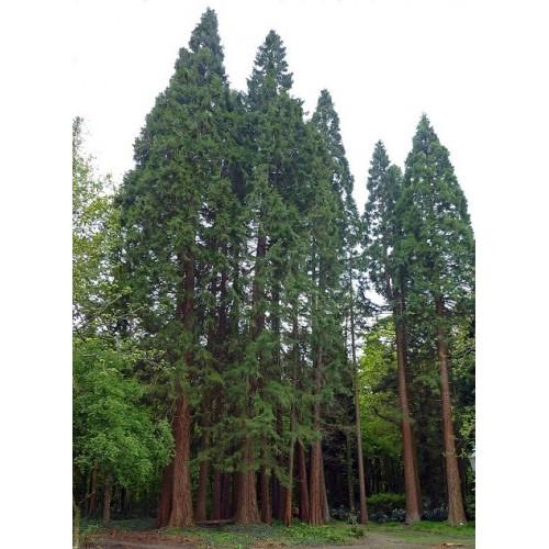 بذر درخت سکویا غولپیکر