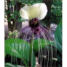 بذر گل خفاش سفید