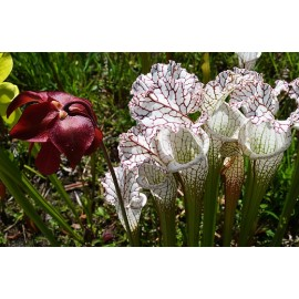 بذر گیاه حشره خوار ساراسنیا لئوکوفیلا