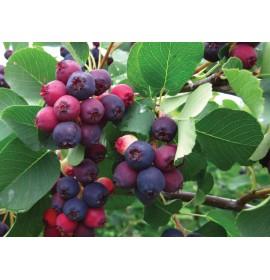 بذر میوه جون بری