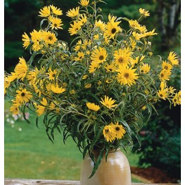 بذر گل آفتاب گردان ماکسیمیلیان