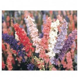 بذر گل زبان در قفا رنگ مخلوط با شکوه