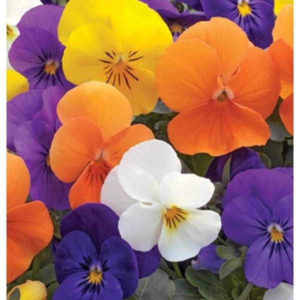 بذر گل بنفشه تمام فصل مخلوط (F1)