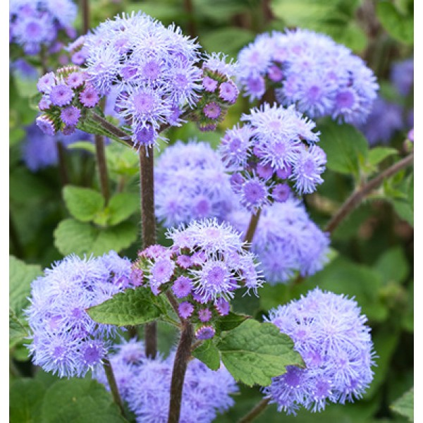 بذر گل ابری بلند آبی (F1)
