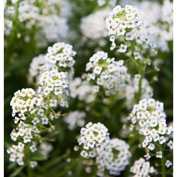 بذر گل عسل قدومه شیرین