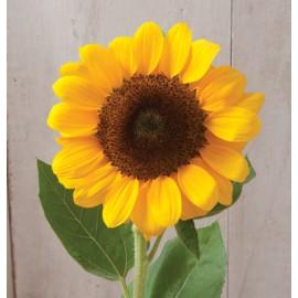 بذر گل آفتابگردان وینسنت (F1)