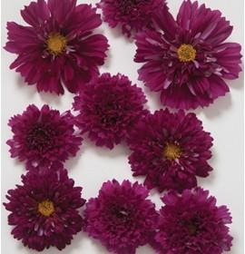 بذر گل ستاره ای
