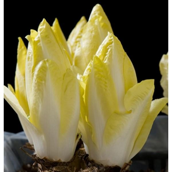 بذر کاسنی فرنگی توتم F1 ارگانیک