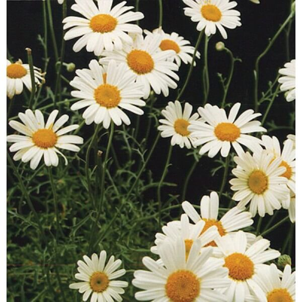 بذر گل پیرتروم  یا گل حشره کش