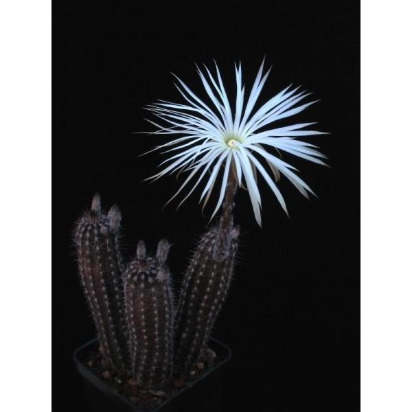 بذر setiechinopsis mirabilis