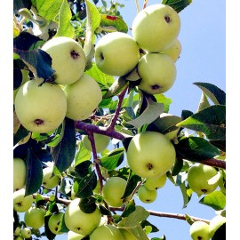 بذر سیب ترش جنگلی