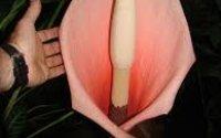 کاشت گل آمورفوفالوس بولبیفر