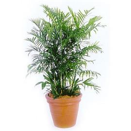 بذر شامادورا الگانس
