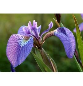 بذر گل آیریس ستوزا