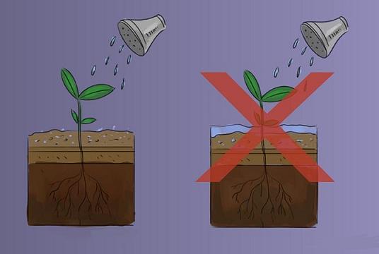 آبیاری گیاه ریحان