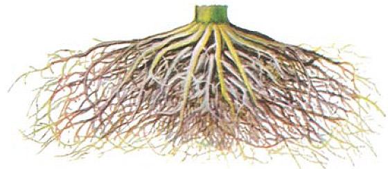 گسترش ریشه ذرت