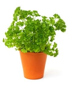 https://www.bazram.com/image/catalog/article/article10/parsley-plant.jpg
