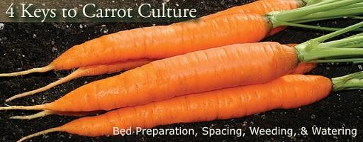 نکات کلیدی در کشت هویج