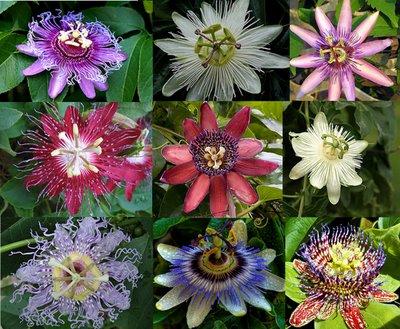 انواع گل ساعت و طریقه کاشت آن ها