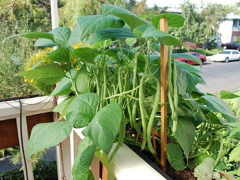 کاشت لوبیا در گلدان