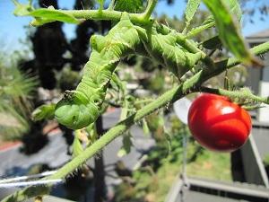 کرم گوجه فرنگی