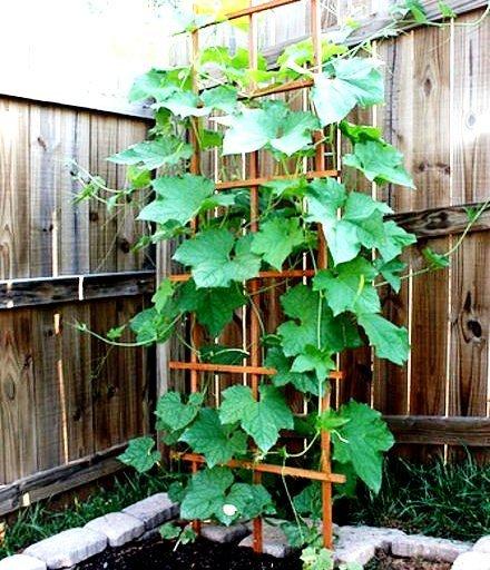 داربست برای گیاه لیف