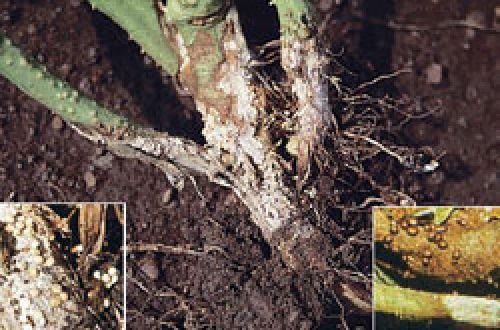 پوسیدگی ساقه، طوقه و ریشه گوجه فرنگی