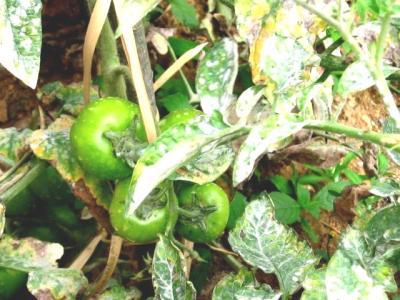 کپک پودری گوجه فرنگی