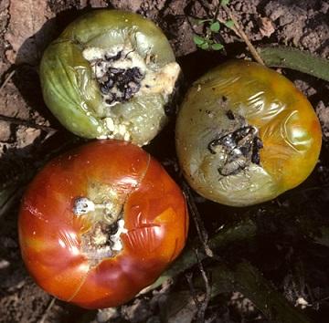 پوسیدگی گوجه فرنگی با قارچ Sclerotinia