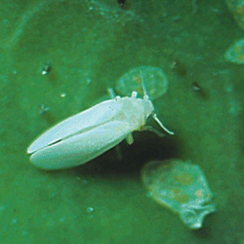 مگس سفید (Silverleaf whitefly)