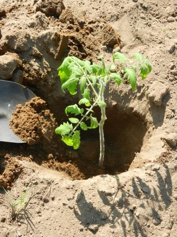 کاشت نهال گوجه فرنگی در زمین