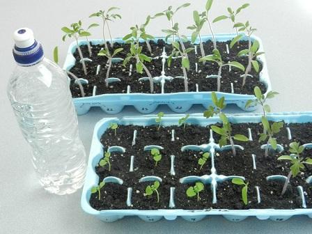 آبیاری گیاهان گوجه فرنگی در سینی نشا