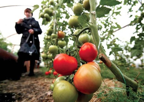 صادرات گوجه فرنگی اوکراین