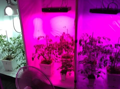 تاثیر چراغ های LED بر کیفیت گوحه فرنگی