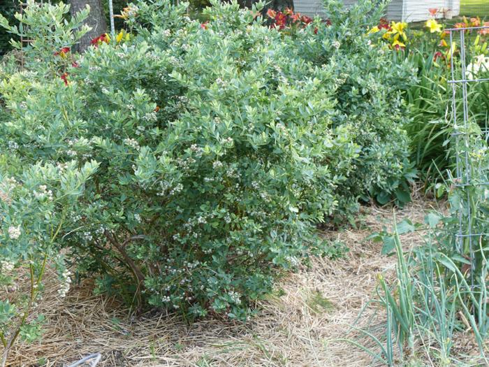 گل برای گلدان بلند شناسایی درختچه بلوبری