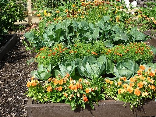 کاشت سبزیجات در کنار کلم بروکلی