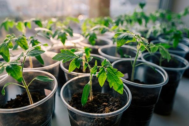 کاشت بذر گوجه فرنگی