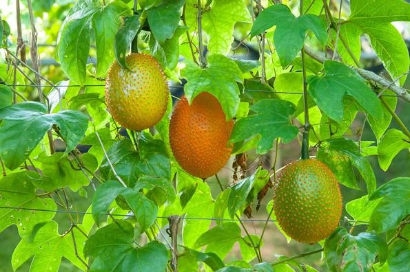 درخت میوه گاک