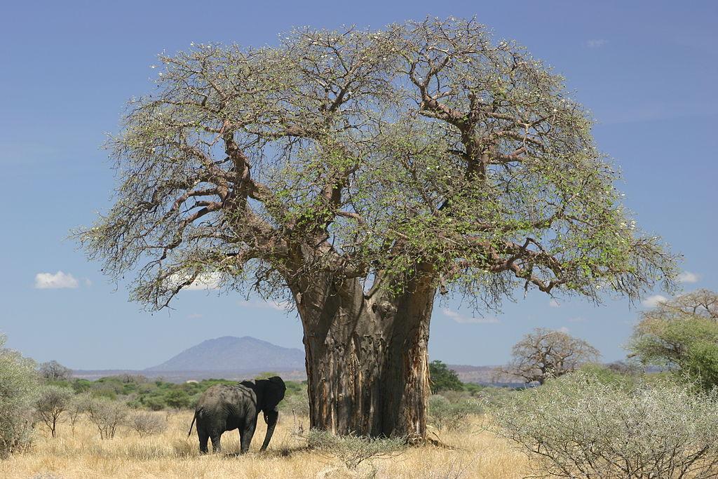 درخت آدانسونیا دیجیتاتا یا بائوباب آفریقایی