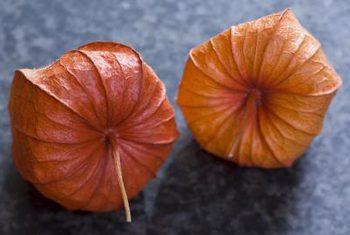 فیسالیس هم خانواده گوجهفرنگی، فلفل و گل اطلسی است