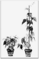 تاثیر هورمون جیبرلین بر رشد گیاهان