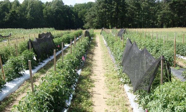 پوشش گیاهان گوجه فرنگی با پارچه