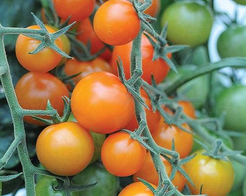 گوجه فرنگی ستاره زنگوله ای