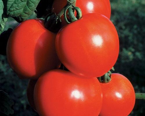 گوجه فرنگی دختر جدید