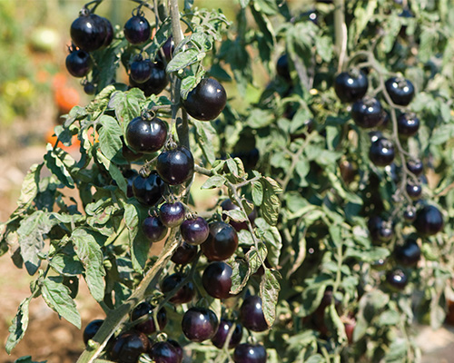 گوجه فرنگی گل رز مشکی ارگانیک