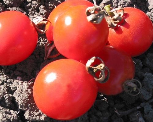 گوجه فرنگی گیلاسی واشنگتن